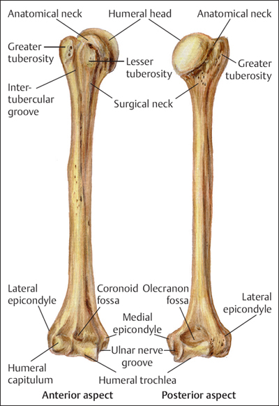 fractures of the humerus musculoskeletal key