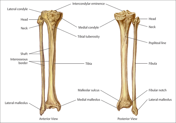 Fibula Latest News Images And Photos Crypticimages