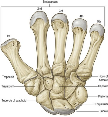 anatomy of the wrist, thumb and hand | Musculoskeletal Key