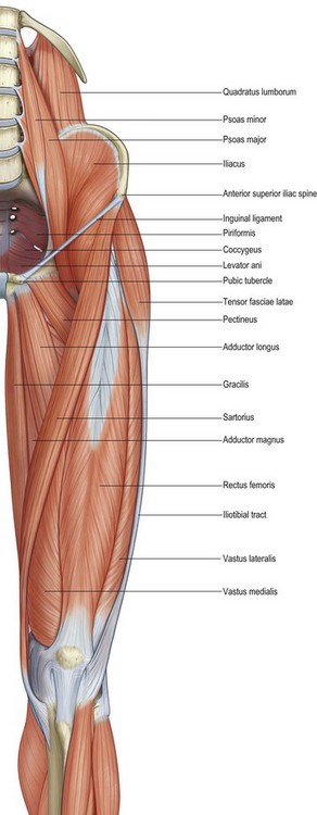 anatomy of the hip and buttock   Musculoskeletal Key