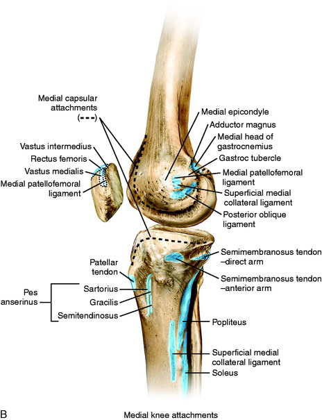 Medial and anterior knee anatomy musculoskeletal key figure 1 3 a osseous landmarks of the knee medial view b soft tissue attachments to bone medial knee ccuart