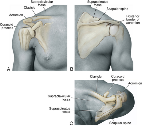 Surface Anatomy Shoulder Courses Best Photo Gallery For Website With