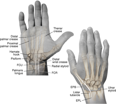 Surface anatomy of wrist