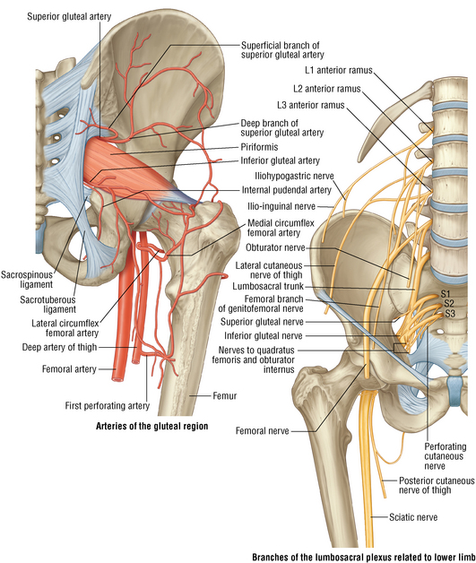 Hip and femur | Musculoskeletal Key