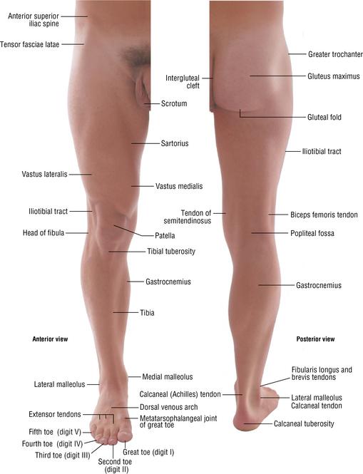 Surface anatomy leg