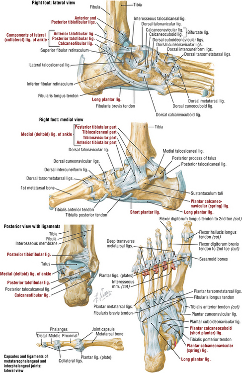 Anatomy of the foot ligaments