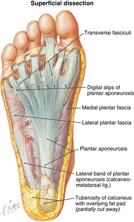 Foot and ankle | Musculoskeletal Key