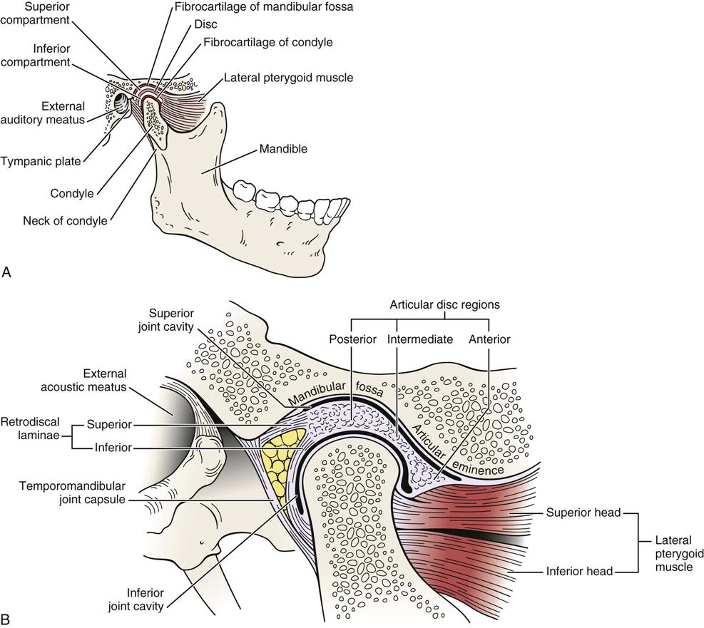 Anatomy of the jaw joint