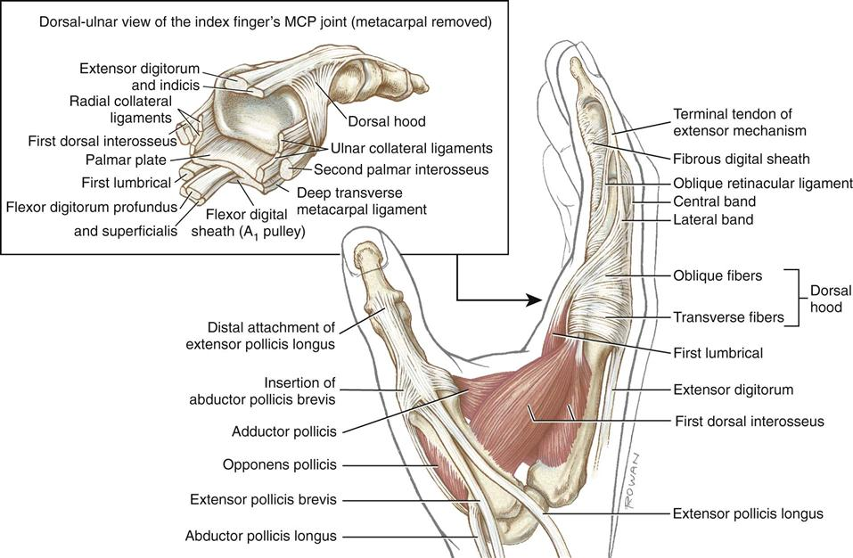 Index finger anatomy