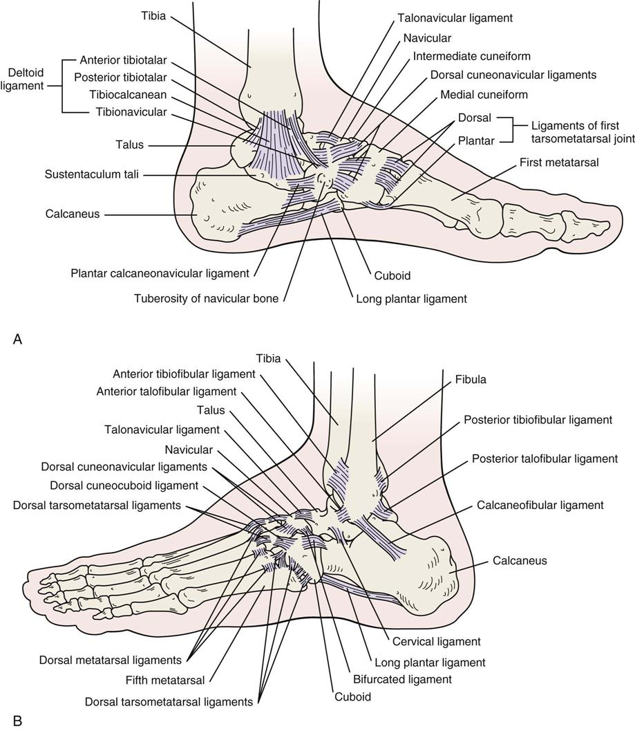 Lower Leg, Ankle, and Foot | Musculoskeletal Key