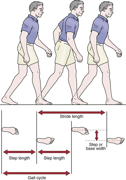 assessment of gait | musculoskeletal key, Muscles