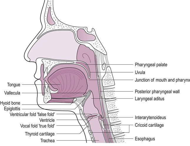 Dysphagia | Musculoskeletal Key