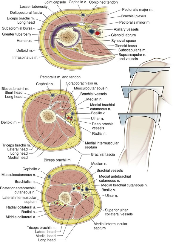Shoulder And Arm Musculoskeletal Key