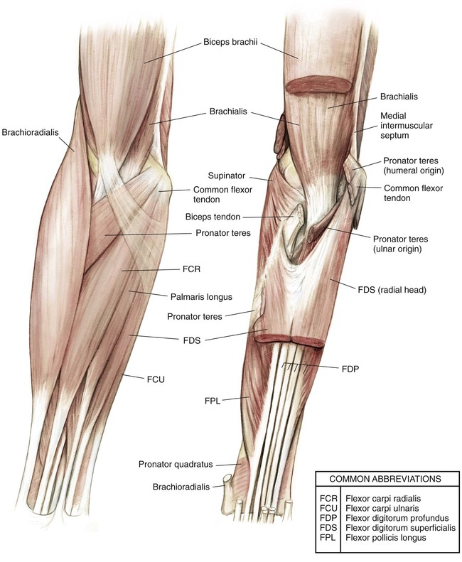 Elbow and Forearm | Musculoskeletal Key