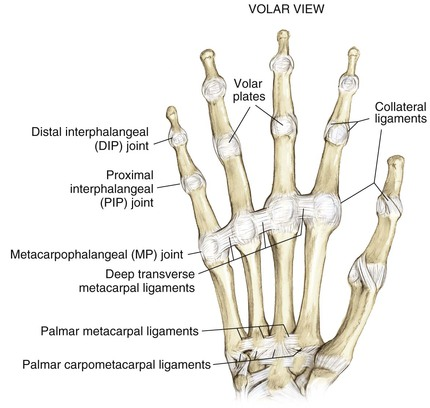 Pip joint anatomy