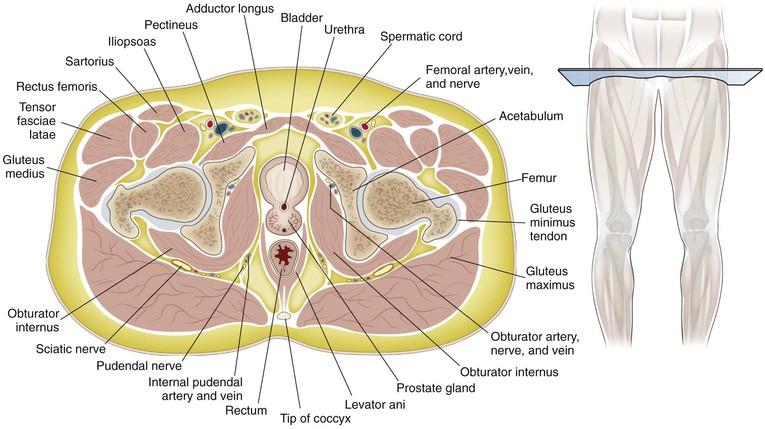 Hip And Pelvis Musculoskeletal Key