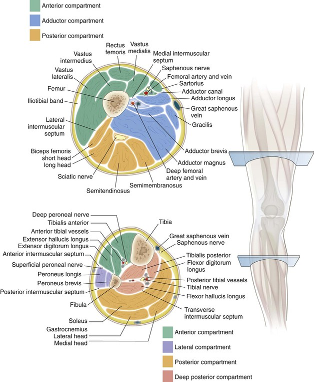 Knee And Lower Leg Musculoskeletal Key