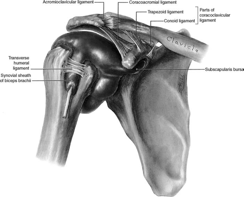 Rehabilitation Of Acromioclavicular Joint Injuries Musculoskeletal Key