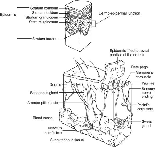 Skin Anatomy Diagram Black And White - DIY Enthusiasts Wiring Diagrams •