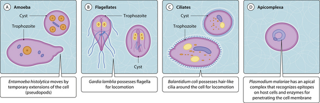 Protozoa The Basic Facts Musculoskeletal Key