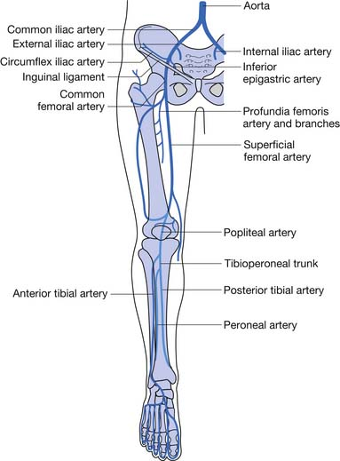 Lower Limb Peripheral Vascular Disease Musculoskeletal Key