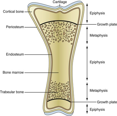 biology, physiology, and morphology of bone | musculoskeletal key, Human Body