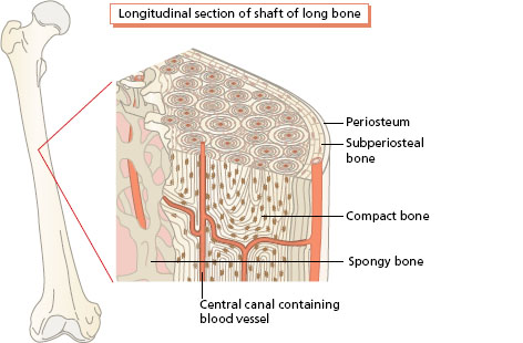 Basic units, structure and function: supporting tissues, muscle and ...