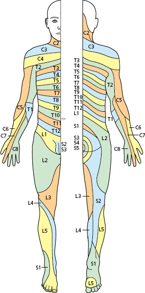 The peripheral nervous system: cranial and spinal nerves ...