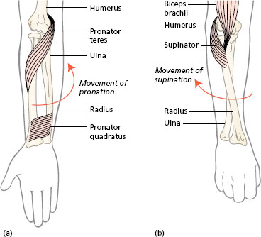 Manipulative movements: the forearm, wrist and hand ...