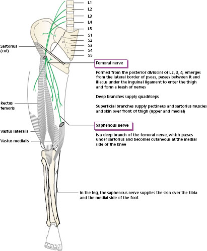 nerve supply of the lower limb | musculoskeletal key, Muscles