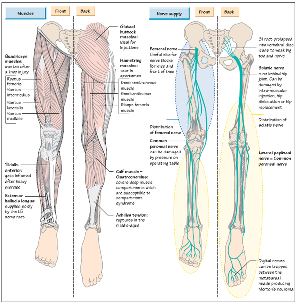 Anatomy Of The Leg Musculoskeletal Key