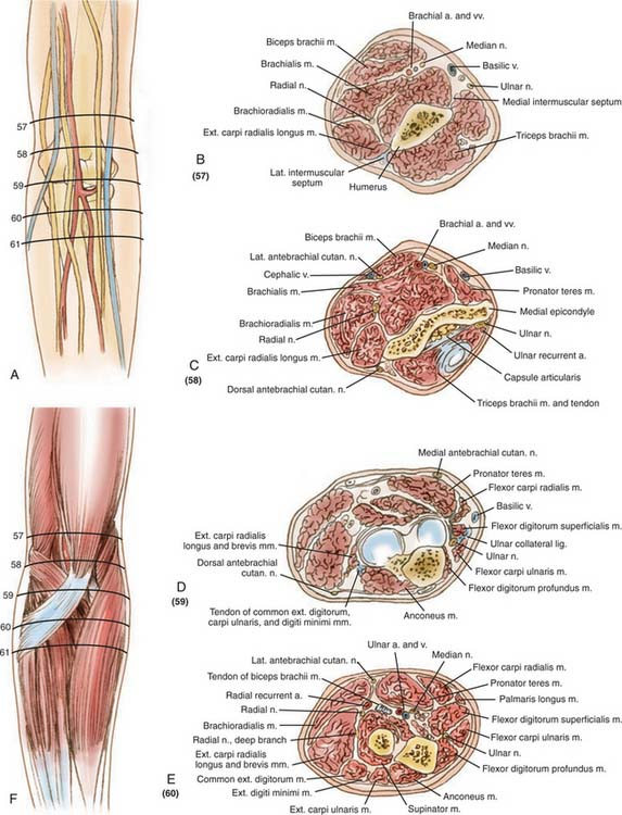 Surgical Exposures Of The Elbow Musculoskeletal Key