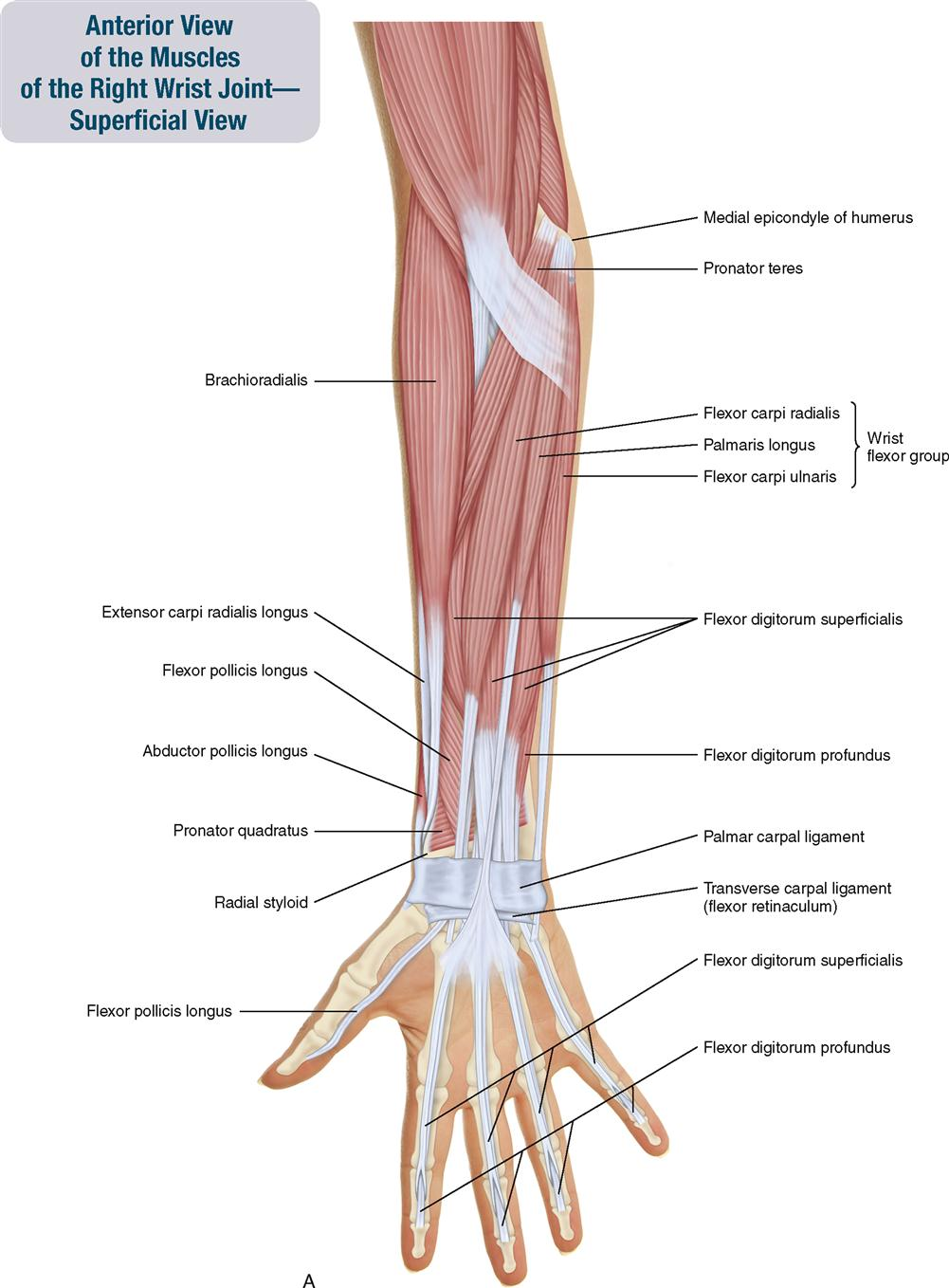 7 Muscles Of The Forearm And Hand Musculoskeletal Key