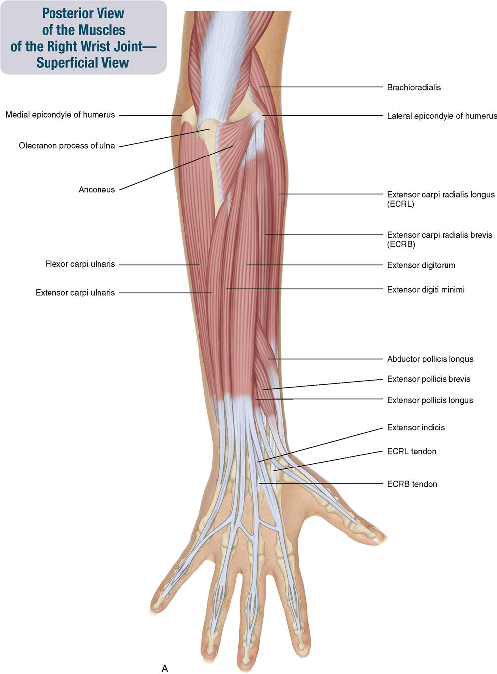 Anatomy of hand and arm