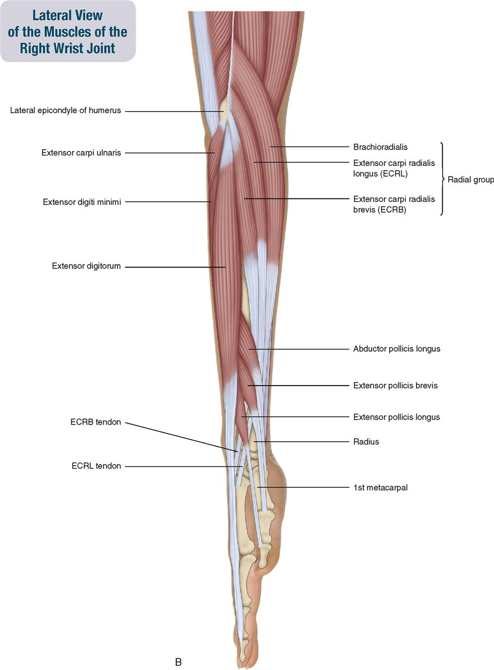 Anatomy of right wrist
