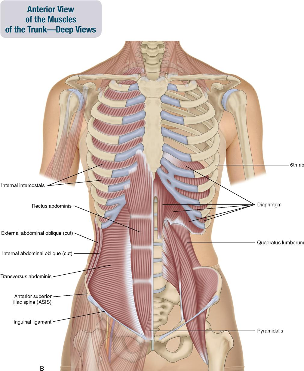 8 muscles of the spine and rib cage musculoskeletal key figure 8 2 a anterior view of the muscles of the trunksuperficial view on the right and an intermediate view on the left the muscles of the neck and ccuart Gallery