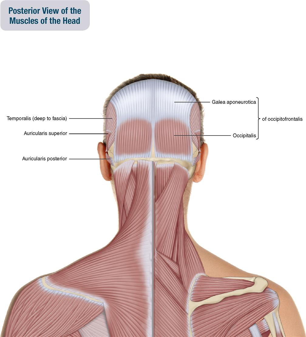 9 Muscles Of The Head Musculoskeletal Key