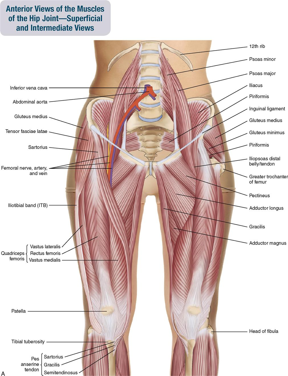 10 Muscles Of The Pelvis And Thigh Musculoskeletal Key