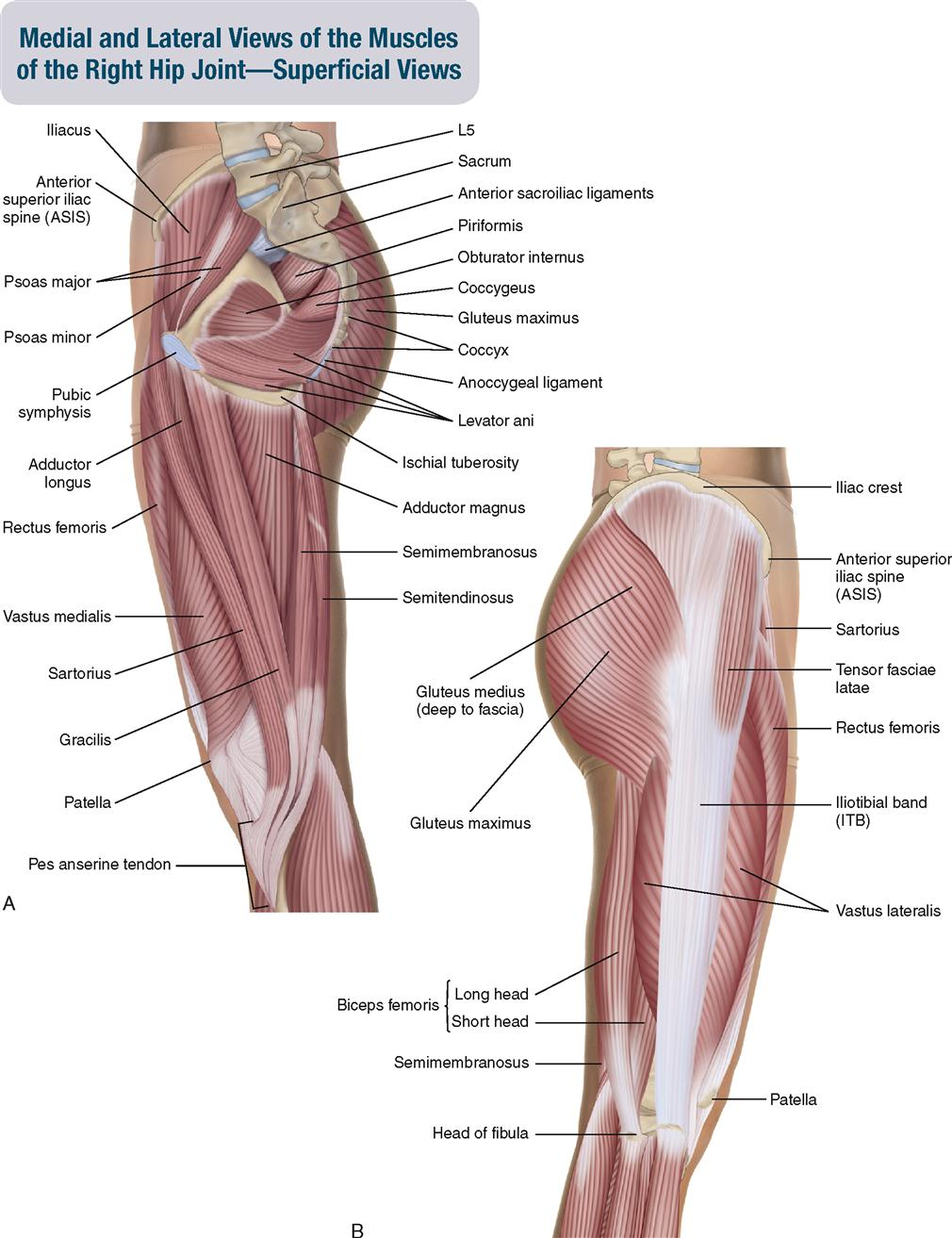 10. Muscles of the Pelvis and Thigh | Musculoskeletal Key