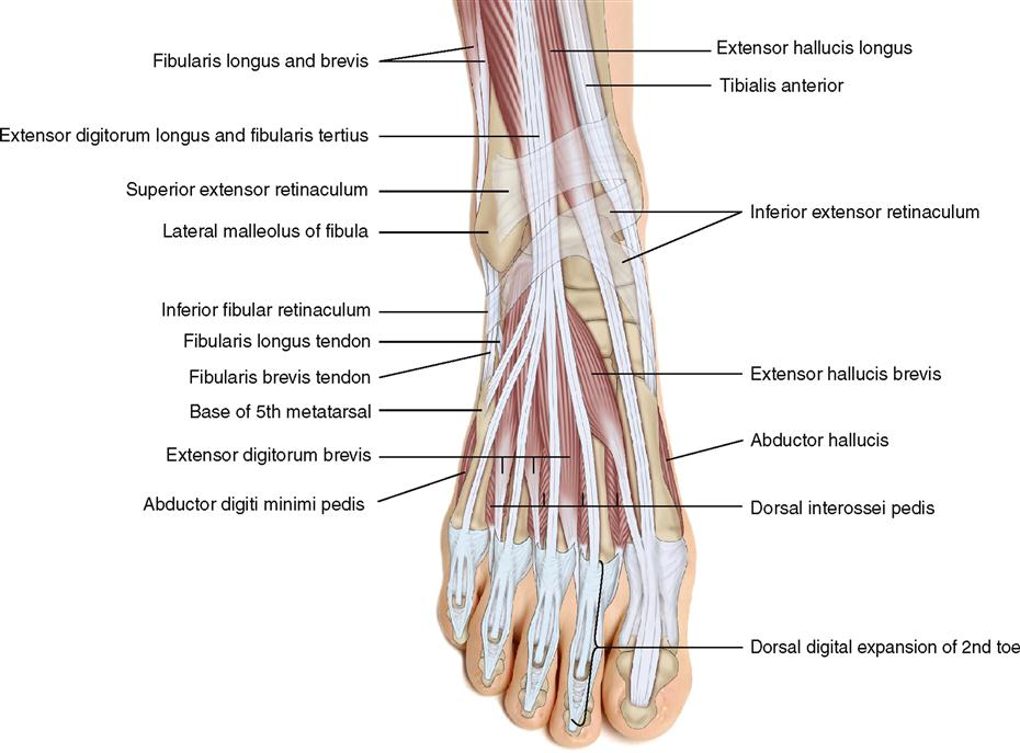 Dorsal foot anatomy