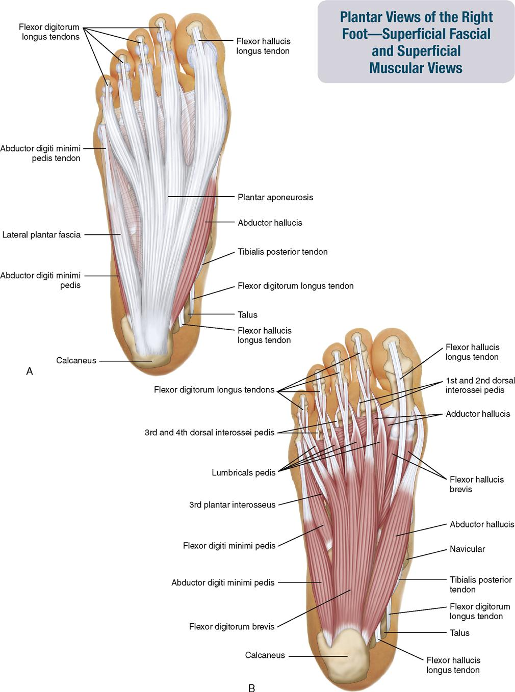 11 Muscles Of The Leg And Foot Musculoskeletal Key