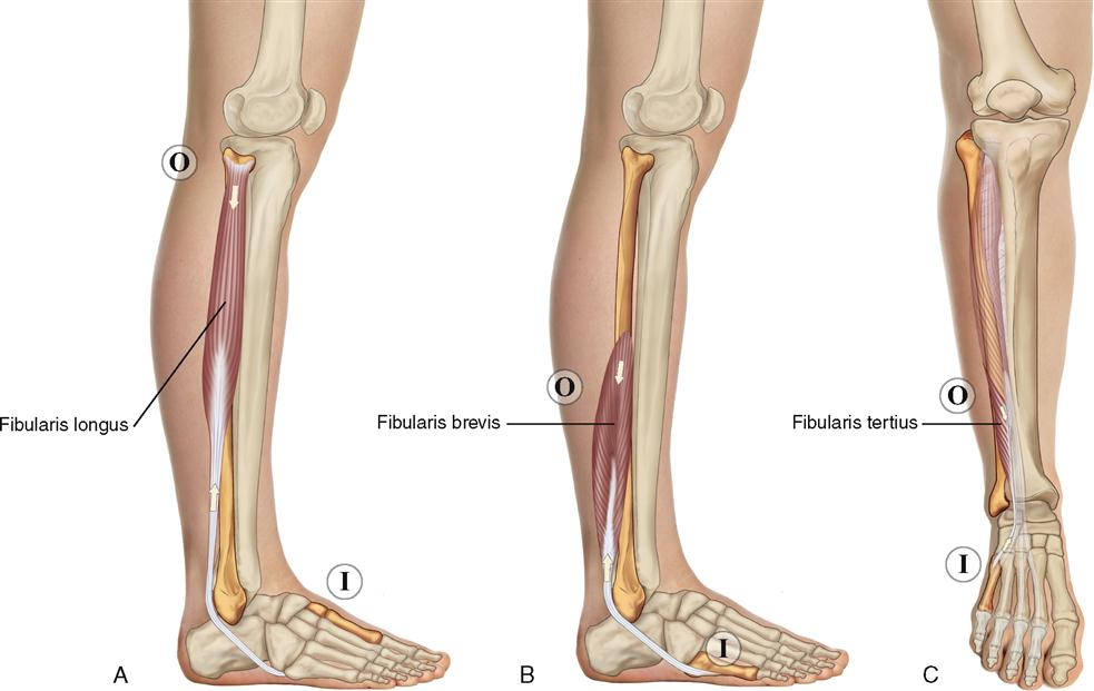 11. Muscles of the Leg and Foot | Musculoskeletal Key