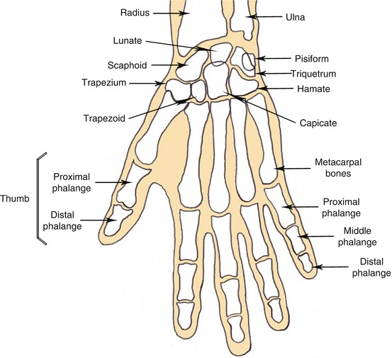 The Anatomy Of The Hand Musculoskeletal Key
