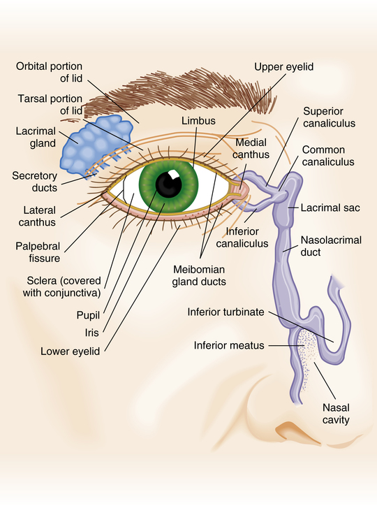 The Eye Musculoskeletal Key