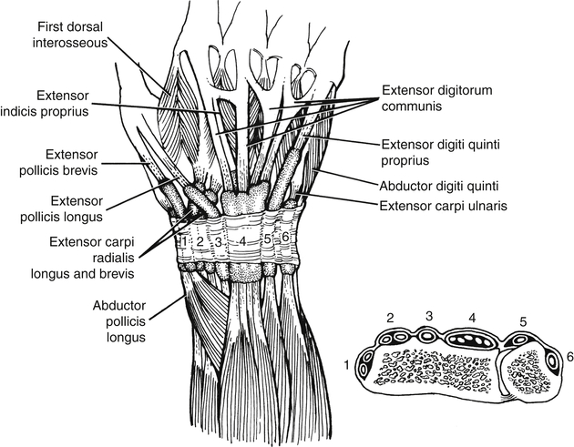 hand extensor tendon anatomy sketch coloring page