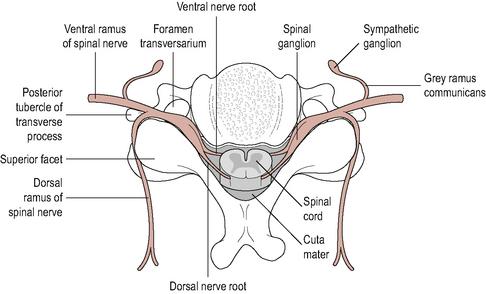 Upper cervical spine   Musculoskeletal Key