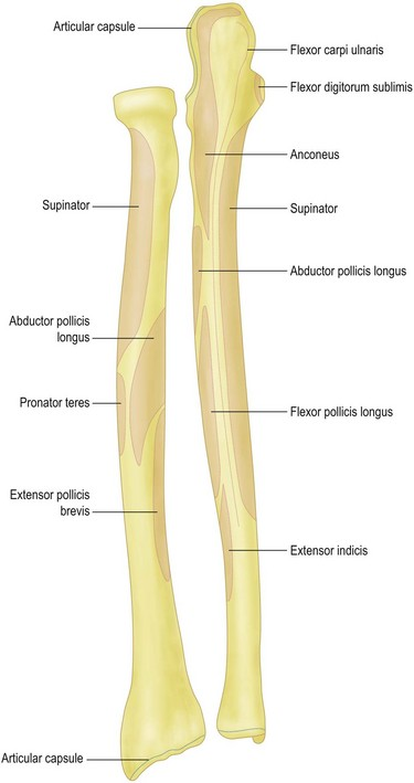Surgical Anatomy of the Elbow | Musculoskeletal Key Ulna Bone