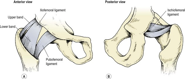 The hip and thigh | Musculoskeletal Key
