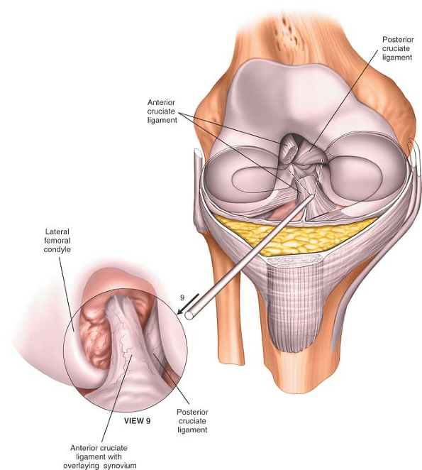 The Knee | Musculoskeletal Key