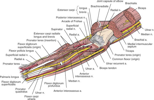 The Forearm Musculoskeletal Key